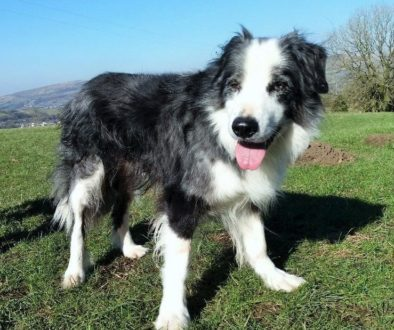 Coire - Blue Merle Collie Dog